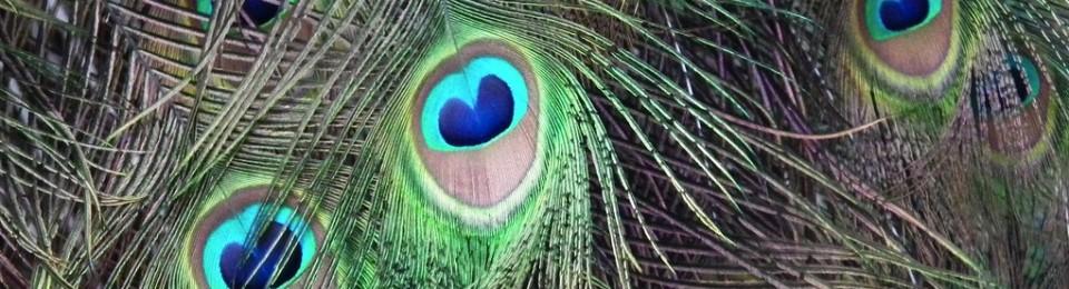cropped-peacock2.jpg